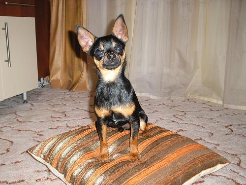 Фото породы собаки тортерьера