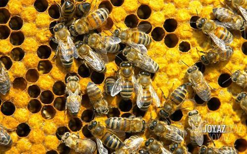 Arı sancmasının və balın faydaları