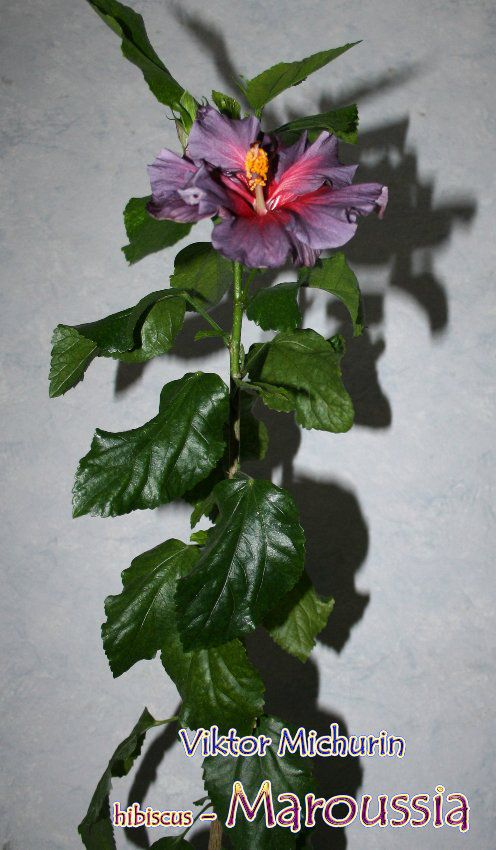 maroussia-1b.jpg