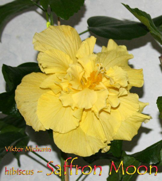 saffron moon-5.jpg