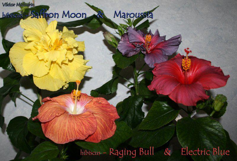 saffron moon-5c.jpg