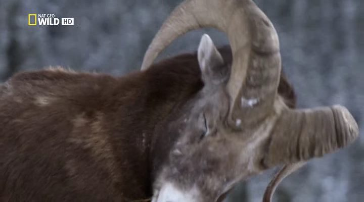 National Geographic. Дикая Канада (1-4 серии из 5) / Wild Canada (2014) HDTVRip