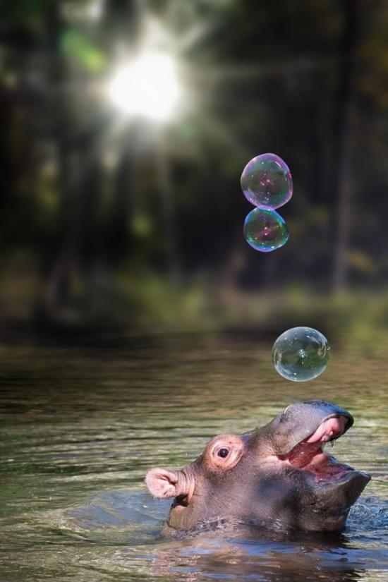 Бегемот пускает пузыри 1