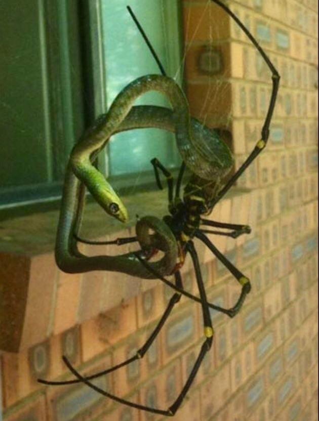 Змейка и паук 1