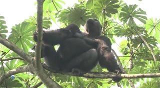 Дикая природа. Семейные узы: Западная равнинная горилла / Wild Life. Family Ties: Western Lowland Gorilla (2012) HDTVRip от GeneralFilm