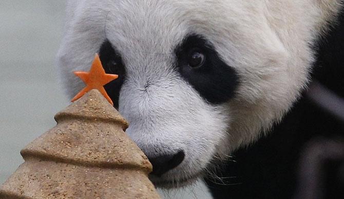 Панда и елка 1