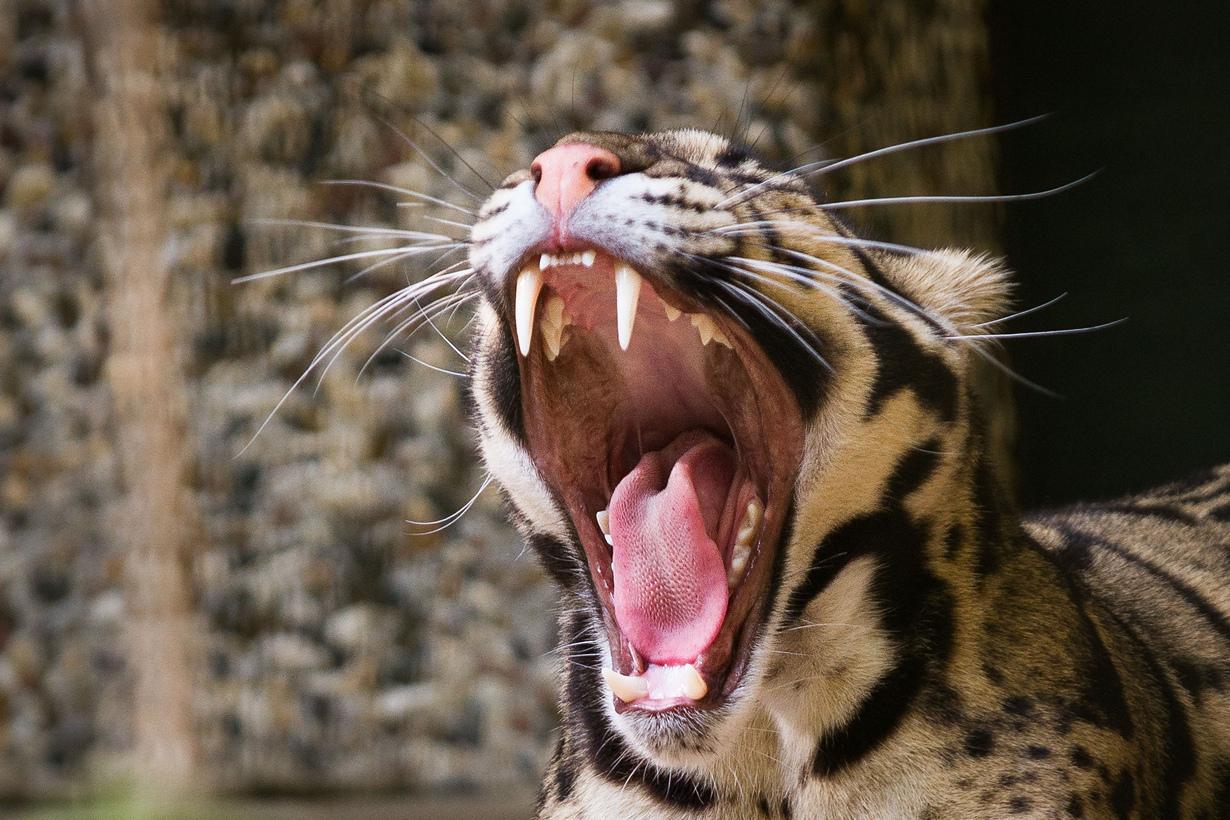 сумел фото зевающих животных знаменитой