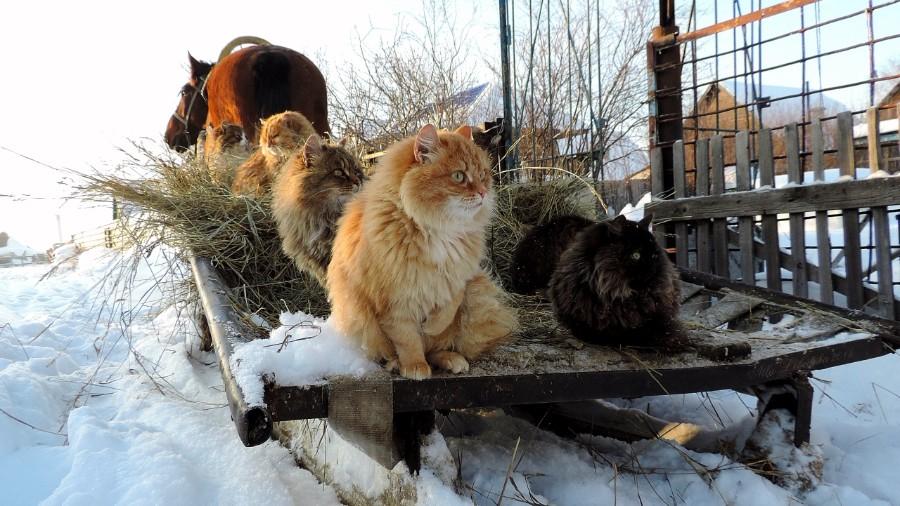 Сибирские коты на санях