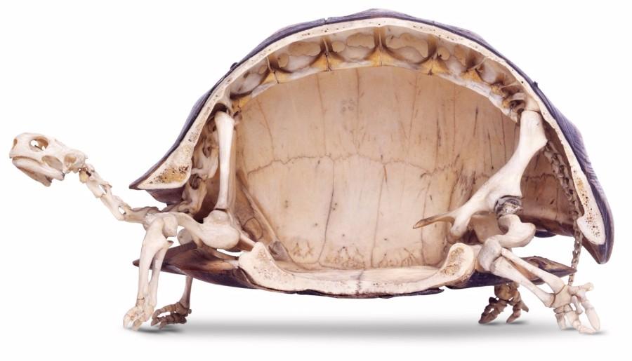 Черепаха в разрезе