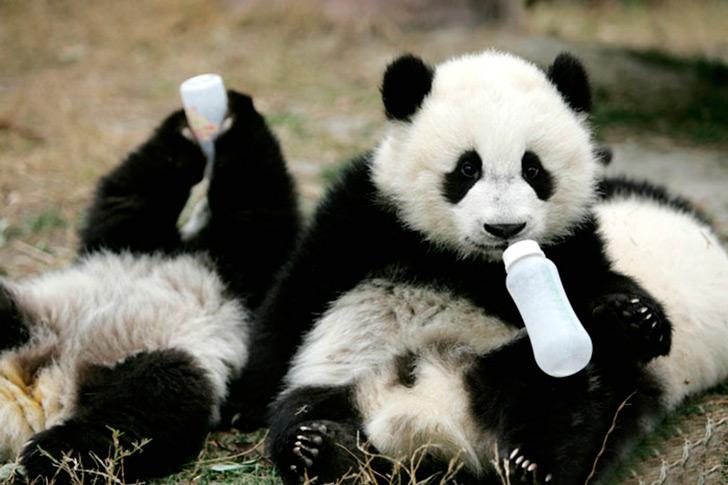 Детский садик для панд в Поднебесной