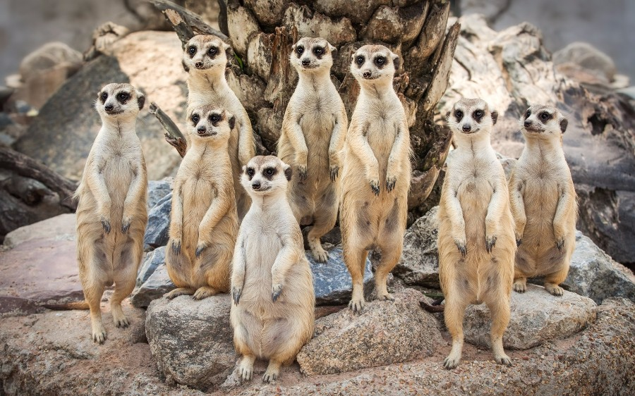Семейство сурикатов