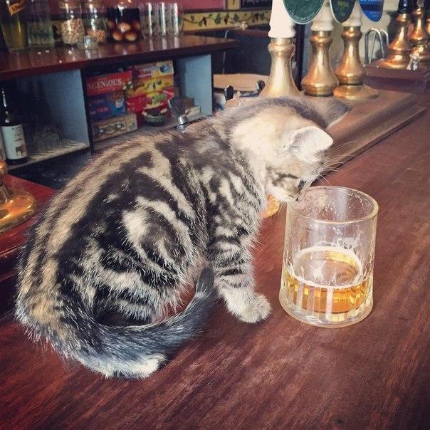Британский паб для любителей котиков 1