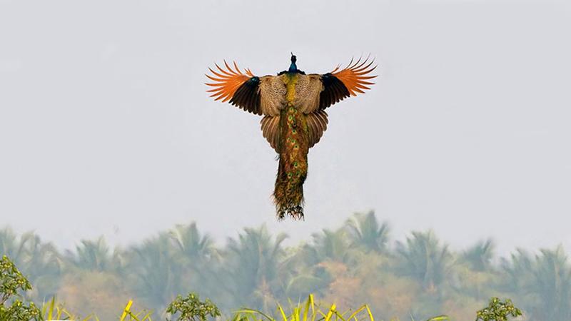 А павлины все - таки летают