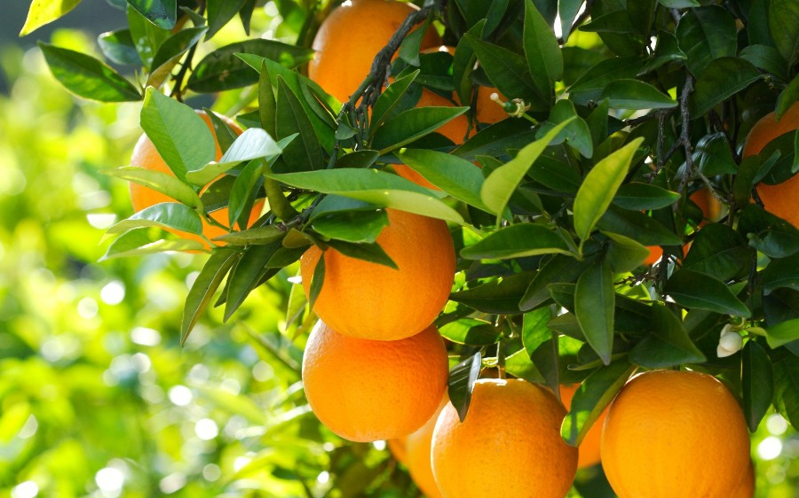 Апельсины на дереве