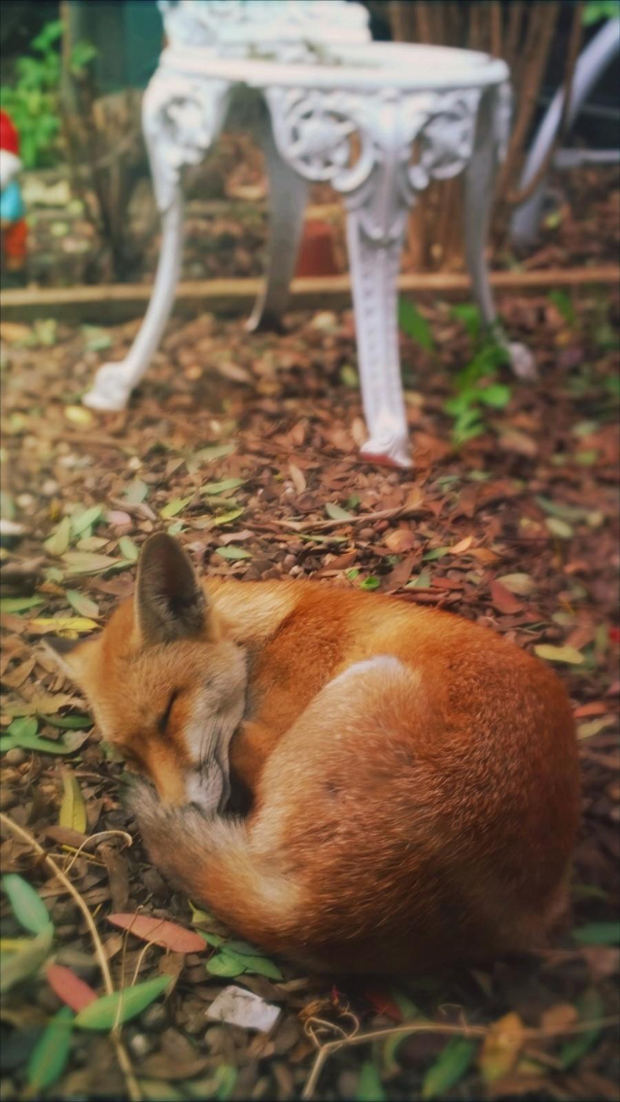 Спящая лисица