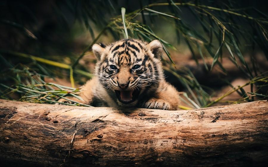 Малыш-тигренок