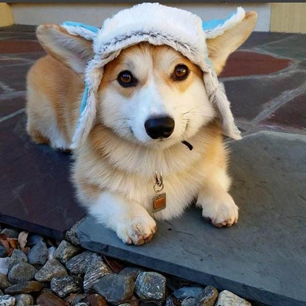 Малыш корги в шапочке