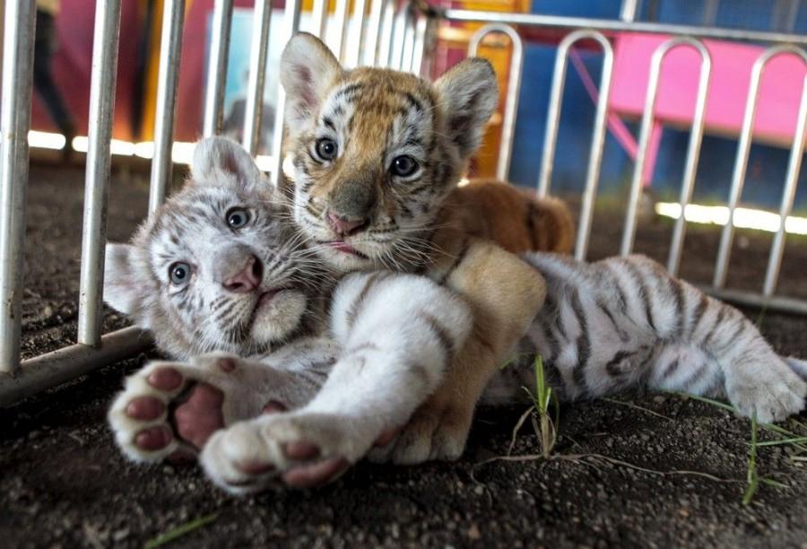 Два тигренка