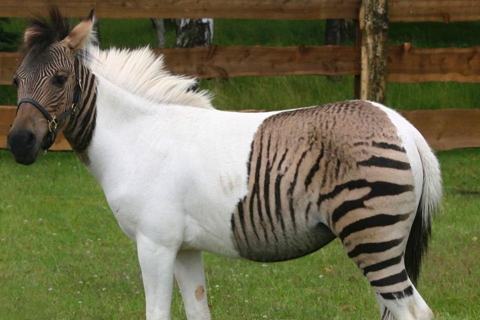 Животные гибриды