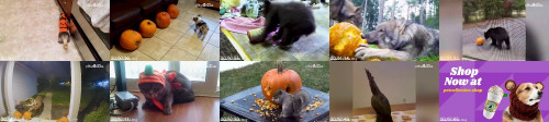 05b0a704d43e0e68be61be6aa3365794 - Pets Vs Pumpkins